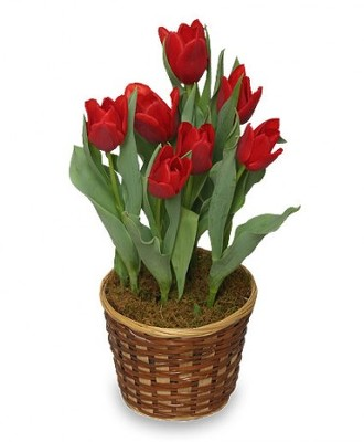 potted tulips in dressed in wicker basket