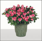 Azalea Plant in wicker basket